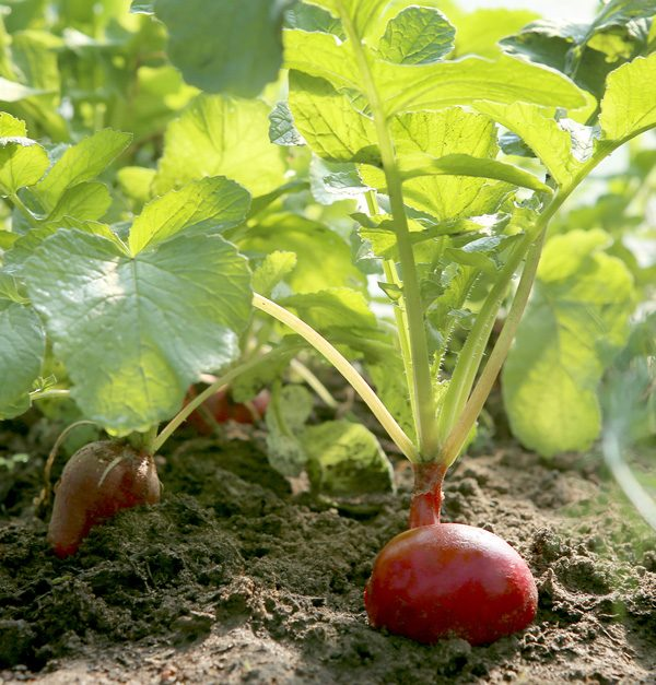 Vegetables to plant in August | Damart Style Diaires